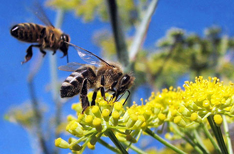 Cause found for Colony Collapse Disorder