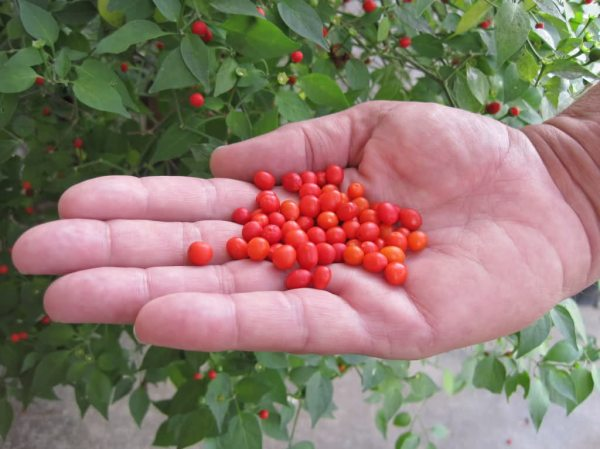 Handful of native chili petines