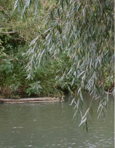 Common white willow