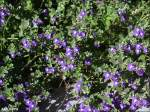 There are over 350 varieties of skullcap
