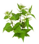 Stinging Nettle--handle only with gloves