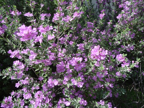 Flowering Purple Sage