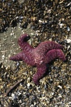 Purple starfish amid the rubble of mussel shells