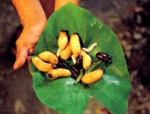 Grubs and insects are eaten in many parts of the world.