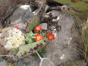 Blooming cactus in the rocks above Eagle Nest Canyon